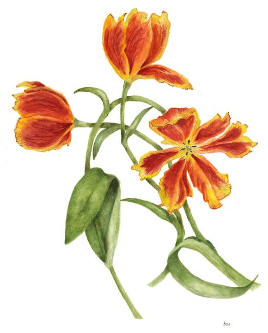 tulipa(preview)